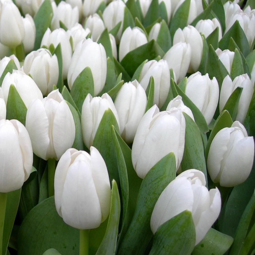 Тюльпаны - Страна Подарков